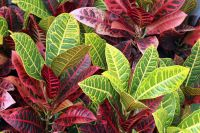 Houseplant of the month October: Croton